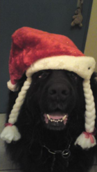 Arthur, chien Terre-Neuve