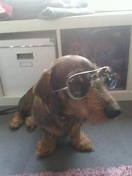 Arthur, chien Teckel