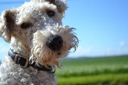 Arthur, chien Fox-Terrier