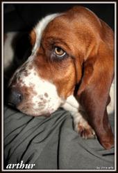 Arthur, chien Basset Hound