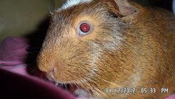 Arthur, rongeur Cochon d'Inde