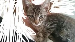 Arthuro, chat Européen