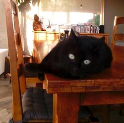 Arthus, chat Européen