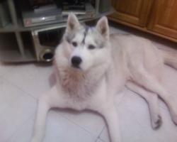 Artic, chien Husky sibérien
