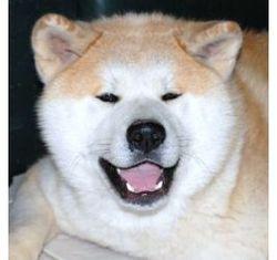 Artil, chien Akita Inu