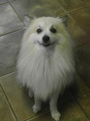 Artique, chien Spitz allemand