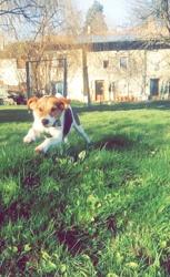 Artza, chien Fox-Terrier