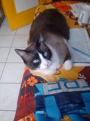 Arwel, chat Siamois