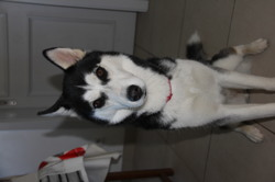 Arwen, chien Husky sibérien