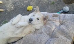 Arya, chien Malamute de l'Alaska
