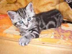 Arya, chaton British Shorthair