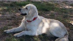 Arya, chien Golden Retriever