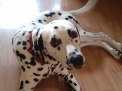 Arzhur, chien Dalmatien