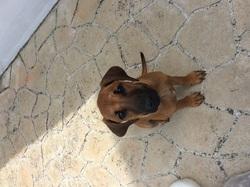 Asalie, chien Rhodesian Ridgeback