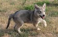 Asami, chien Chien-loup de Saarloos