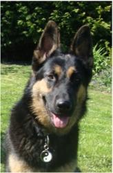 Asco, chien Berger allemand