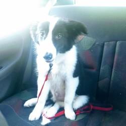 Asgard, chien Border Collie
