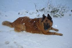 Asgardr De Walhalha, chien Berger belge