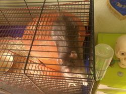 Ash, rongeur Rat