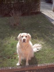 Asia, chien Golden Retriever