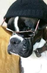 Asia, chien Boxer