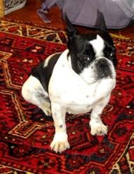 Asia, chien Bouledogue français