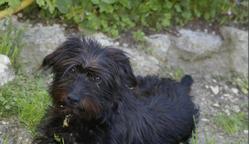 Aska, chien Cairn Terrier