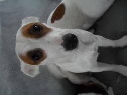 Aska, chien Jack Russell Terrier