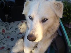 Askenna, chien Husky sibérien