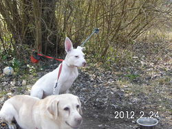 Askia , chien Dogue argentin