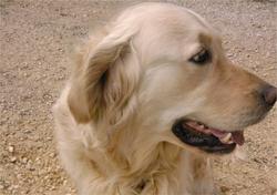 Askia, chien Labrador Retriever