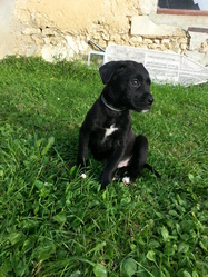 Asko, chien