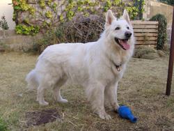 Aslan, chien Berger blanc suisse