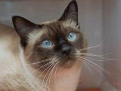 Aslan, chat Siamois