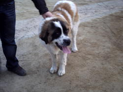 Aslan, chien Saint-Bernard