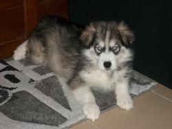 Aslan, chien Husky sibérien