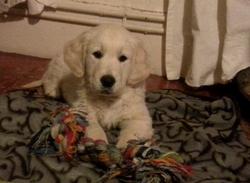 Aslan, chien Golden Retriever