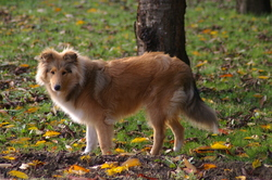 Aslan, chien Colley à poil long