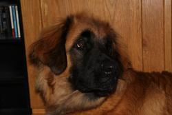 Aslan, chien Leonberger