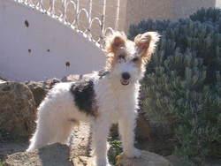 Aspi, chien Fox-Terrier