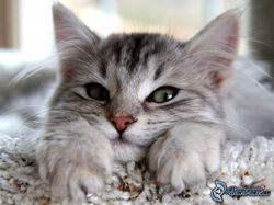 Assasina, chat Européen