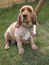 Assia, chien Cocker anglais