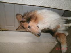 Assia, chien Colley à poil long