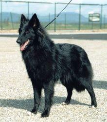Asti, chien Berger belge