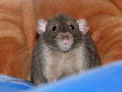 Aston, rongeur Rat
