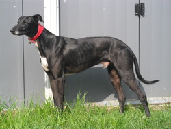 Aston, chien Lévrier espagnol