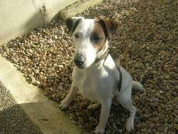 Aston, chien Jack Russell Terrier