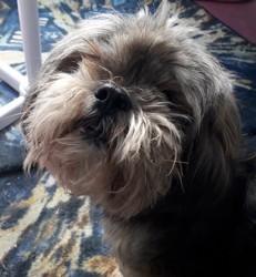 Aston, chien Lhassa Apso