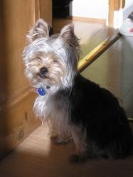 Aston, chien Yorkshire Terrier