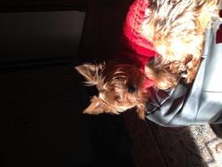 Astrid, chien Yorkshire Terrier